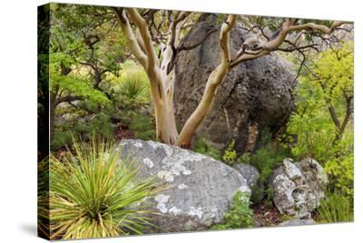 USA, Texas, Guadalupe Mountains NP. Scenic with Texas Madrona Tree-Don Paulson-Stretched Canvas Print