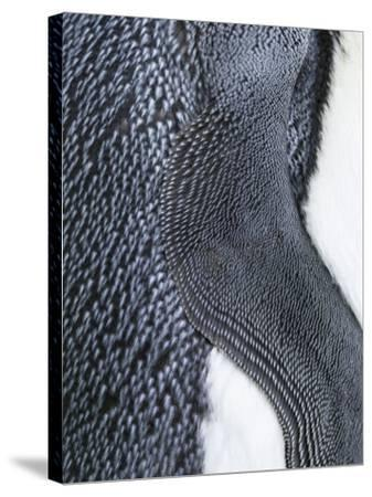 King Penguin, Falkland Islands, South Atlantic. Detail of Wing of Fin-Martin Zwick-Stretched Canvas Print