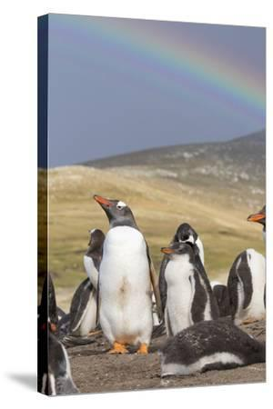 Gentoo Penguin on the Falkland Islands, Rookery under a Rainbow-Martin Zwick-Stretched Canvas Print