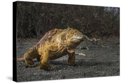 Galapagos Land Iguana, Urvina Bay Isabela Island, Galapagos, Ecuador-Pete Oxford-Stretched Canvas Print