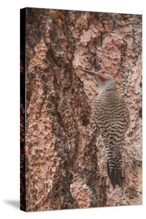 Northern Flicker Balanced on the Bark of a Ponderosa-Michael Qualls-Stretched Canvas Print