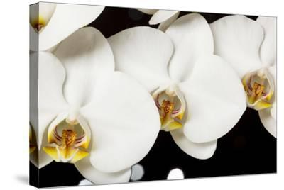 USA, Oregon, Keizer, Hybrid Orchid-Rick A Brown-Stretched Canvas Print