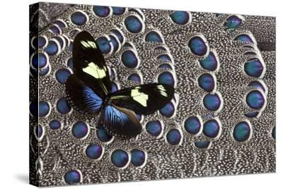 Heliconius Longwing Butterfly on Grey Peacock Pheasant Feather Design-Darrell Gulin-Stretched Canvas Print