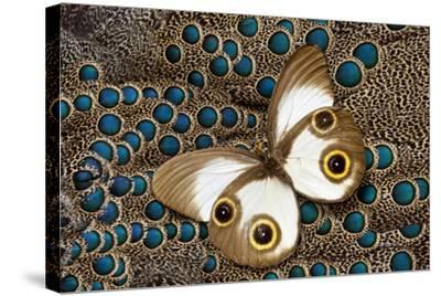 Taenaris Catops Butterfly on Malayan Peacock-Pheasant Feather Design-Darrell Gulin-Stretched Canvas Print