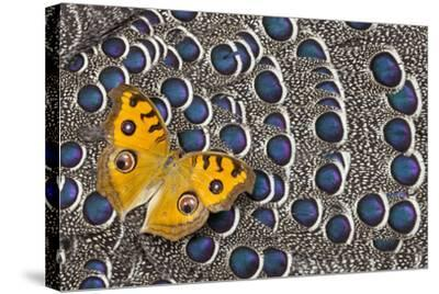 Pansy Butterfly on Grey Peacock Pheasant Feather Design-Darrell Gulin-Stretched Canvas Print