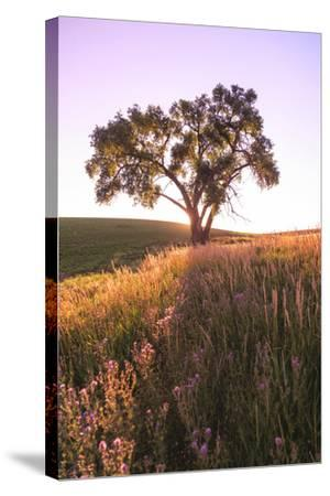 Oak Tree Near Field of Oxeye Daisies and Wheat, Palouse, Washington-Stuart Westmorland-Stretched Canvas Print