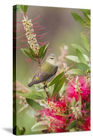 Tennessee Warbler (Vermivora Peregrina) Foraging for Insects-Larry Ditto-Stretched Canvas Print
