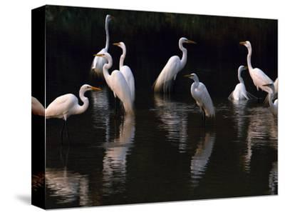 Great Egrets in Lagoon, Pantanal, Brazil-Frans Lanting-Stretched Canvas Print