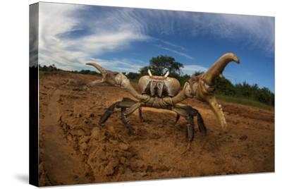 An Endangered Land Crab, Hydrothephusa Madagascariensis, from Madagascar-Cristina Mittermeier-Stretched Canvas Print