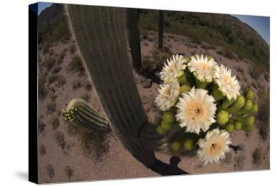 Close Up of Saguaro Cactus Flowers. the Flowers Open at Night and Close If the Day Is Too Hot-Bill Hatcher-Stretched Canvas Print