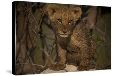 Portrait of a Lion Cub Sitting on Top of an Anthill-Beverly Joubert-Stretched Canvas Print