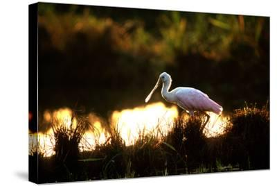 A Roseate Spoonbill, Platalea Ajaja, at Sunset in Palo Verde National Park-Cagan Sekercioglu-Stretched Canvas Print