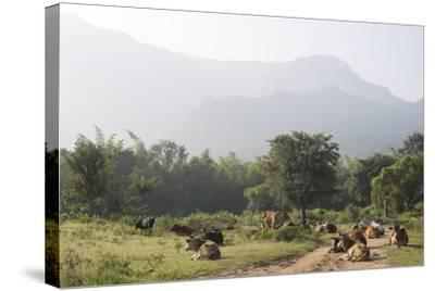 Cattle Lie in the Middle of a Road at the Nilgiri Foothills-Kelley Miller-Stretched Canvas Print