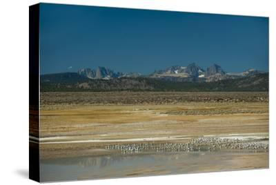 Gulls Rest by an Alkaline Pond in the Sierra Nevada Near Mammoth Lakes, California-Gordon Wiltsie-Stretched Canvas Print