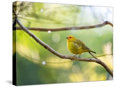 A Saffron Finch, Sicalis Flaveola, Resting in a Tropical Scene in the Atlantic Rainforest-Alex Saberi-Stretched Canvas Print