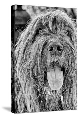 Portrait of a Briard Dog in Central Park-Kike Calvo-Stretched Canvas Print