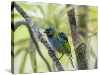 A Green-Headed Tanager in a Tropical Environment in Ubatuba, Brazil-Alex Saberi-Stretched Canvas Print