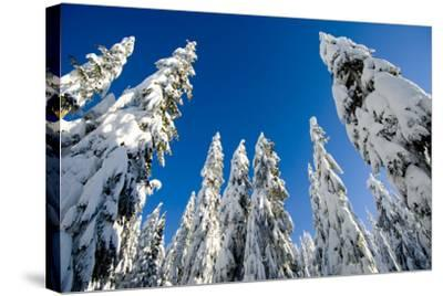 Snow-Laden Trees on Seymour Mountain-Paul Colangelo-Stretched Canvas Print