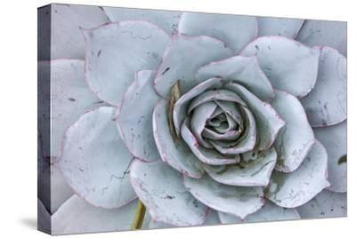 Close Up of a Succulent Plant-Macduff Everton-Stretched Canvas Print