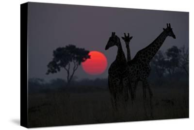 Three Giraffe Silhouettes Against the Setting Sun-Beverly Joubert-Stretched Canvas Print