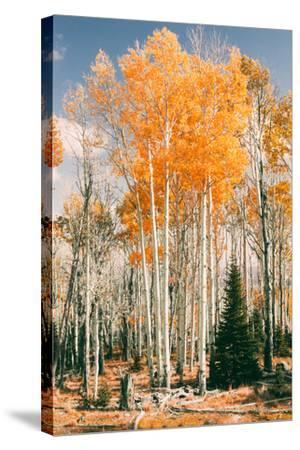 Autumn Sun Trees at Dixie National Forest, Southern Utah, Southwest-Vincent James-Stretched Canvas Print