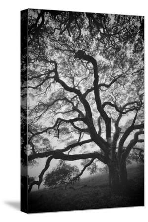 Mood Tree, Oak in Winter in Black and White, Sonoma Couny, Northern California-Vincent James-Stretched Canvas Print
