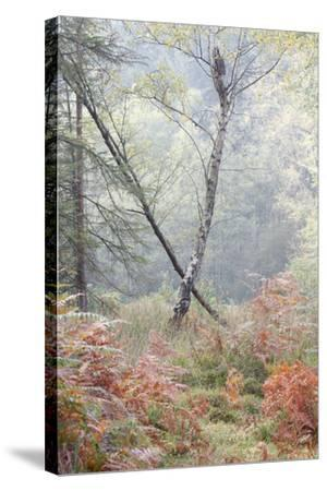 Trees in English Woodland-David Baker-Stretched Canvas Print