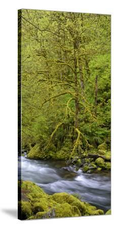 Moss Covered Trees Along Tanner Creek, Columbia Gorge National Scenic Area, Oregon, Usa--Stretched Canvas Print