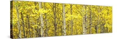Aspen Grove, Teton Village, Grand Teton National Park, Wyoming, Usa--Stretched Canvas Print