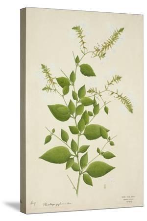 Plumbago Zeylanica Linn, 1800-10--Stretched Canvas Print