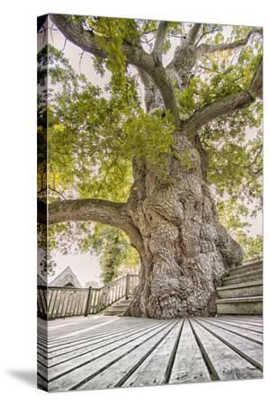 Oak Guillotin-Viviane Fedieu Daniel-Stretched Canvas Print