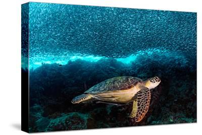 Turtle and Sardines-Henry Jager-Stretched Canvas Print
