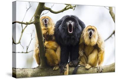 Black Howler Monkeys (Alouatta Caraya) Male and Two Females Calling from Tree-Juan Carlos Munoz-Stretched Canvas Print