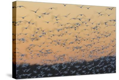 Greater Snow Geese (Chen Caerulescens) Taking Flight at Sunset During Migration-Gerrit Vyn-Stretched Canvas Print