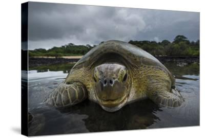 Green Turtle (Chelonia Mydas) Returning to Sea, Bissagos Islands, Guinea Bissau-Pedro Narra-Stretched Canvas Print