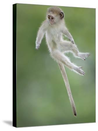 Vervet Monkey (Chlorocebus Pygerythrus) Baby Jumping Between Branches, Photographed Mid Air-Wim van den Heever-Stretched Canvas Print