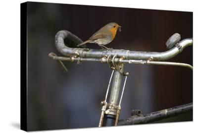 Robin Erithacus Rubecula on Bicycle-Ernie Janes-Stretched Canvas Print
