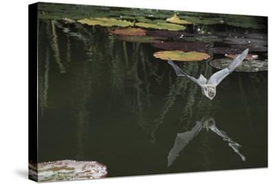 Natterer's Bat (Myotis Nattereri) About to Drink from the Surface of a Lily Pond, Surrey, UK-Kim Taylor-Stretched Canvas Print