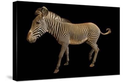 An Endangered Grevy's Zebra, Equus Grevyi.-Joel Sartore-Stretched Canvas Print