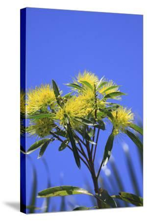 A Bright Yellow Wattle Tree in Suburban Cairns, Queensland, Australia-Paul Dymond-Stretched Canvas Print