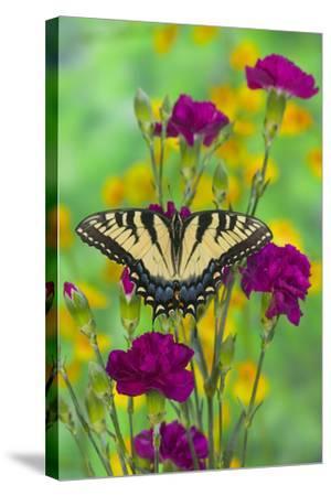 Eastern Tiger Swallowtail-Darrell Gulin-Stretched Canvas Print