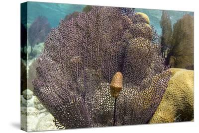 Flamingo Tongue on Common Sea Fan, Lighthouse Reef, Atoll, Belize-Pete Oxford-Stretched Canvas Print