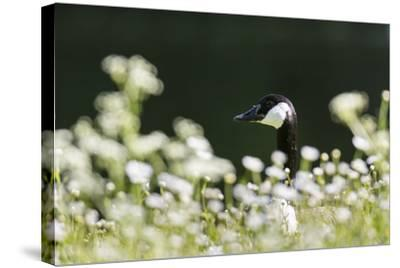 Canada Goose. Europe, Germany, Bavaria-Martin Zwick-Stretched Canvas Print