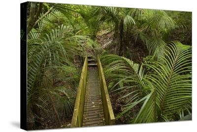 Nikau Palms and Footbridge at Parry Kauri Park, Warkworth, Auckland Region, North Island-David Wall-Stretched Canvas Print