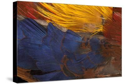 Golden Pheasant Feathers-Darrell Gulin-Stretched Canvas Print