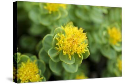 Greenland, Sydkapp, the Roseroot Aka King's Crown, Perennial Flowering Plant-Aliscia Young-Stretched Canvas Print
