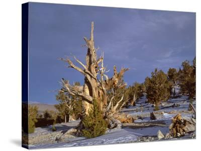 USA, California, Inyo National Forest, Ancient Bristlecone Pine Forest Area-John Barger-Stretched Canvas Print