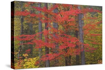 Red Tree and Fall Color Schoolcraft County, Upper Peninsula, Michigan-Richard and Susan Day-Stretched Canvas Print
