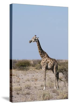 Southern Giraffe, Central Kalahari National Park, Botswana-Sergio Pitamitz-Stretched Canvas Print