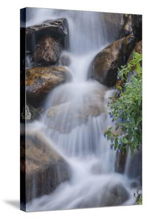 USA, Colorado, Clear Creek County. Close-Up of Cascade and Chiming Bells Flowers-Jaynes Gallery-Stretched Canvas Print